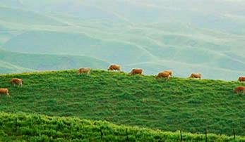 草を食むあか牛